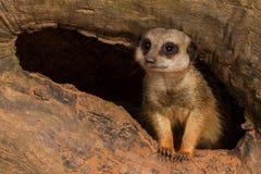 Ювенильное Meerkat Стоковые Изображения RF