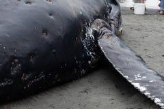 Ювенильные мыть кита Humpback ashore и умерто стоковые фотографии rf