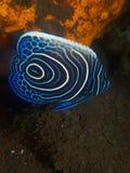Ювенильные секреты 02 Seraya angelfish императора Стоковая Фотография RF