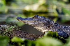 Ювенильный американский аллигатор, охраняемая природная территория соотечественника болота Okefenokee Стоковые Фотографии RF