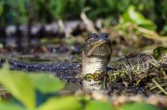 Ювенильный американский аллигатор, охраняемая природная территория соотечественника болота Okefenokee Стоковые Фото