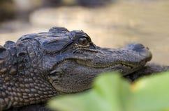 Ювенильный американский аллигатор, охраняемая природная территория соотечественника болота Okefenokee Стоковое фото RF