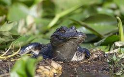 Ювенильный американский аллигатор, охраняемая природная территория соотечественника болота Okefenokee Стоковые Изображения