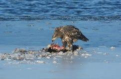 Ювенильный белоголовый орлан есть добычу Стоковые Фото