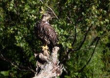 Ювенильный белоголовый орлан на ветви дерева Стоковые Фотографии RF