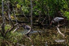 Ювенильный белый Ibis, цапля Tricolored, испещрянная утка, j n ding Стоковое фото RF
