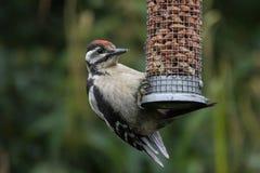 Ювенильный большой запятнанный Woodpecker на фидере гайки Стоковая Фотография RF