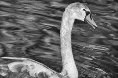 Ювенильный лебедь Стоковое Фото
