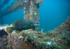 Ювенильный морской окунь - Du Pont Bridgespan Стоковые Изображения RF