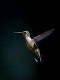 Ювенильный мужской Рубин-throated колибри Стоковое Фото