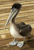 Ювенильный пеликан Брайна Стоковое Изображение
