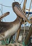 Ювенильный пеликан Брайна Стоковые Фото