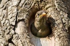 Ювенильный проезжий воробья дома domesticusFledging от коробки гнезда Стоковое фото RF