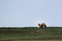 Ювенильный bactrian верблюд принимая прогулку Стоковое фото RF