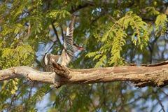 Ювенильный Kingfisher Брайна с капюшоном Стоковое фото RF