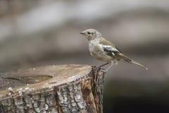 Ювенильный Spinus Spinus птицы Siskin eurasian на пне дерева внутри для Стоковое фото RF
