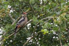Ювенильный Woodpecker на ветви Стоковые Фотографии RF