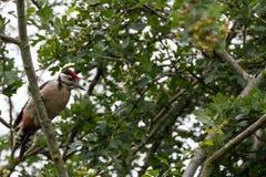 Ювенильный Woodpecker на ветви Стоковое Изображение RF