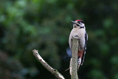 Ювенильный Woodpecker на окуне Стоковое фото RF