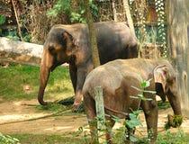 2 ювенильных индийских слона - Elephas Maximus Indicus Стоковые Изображения RF