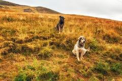 2 югославских собаки sheperd в сельской местности стоковая фотография rf