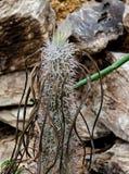 Юго-западный кактус Мадагаскара Стоковое фото RF
