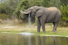 юг слона afric африканского быка выпивая стоковая фотография rf