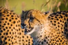 Южная Африка - запас игры песка Sabi Стоковое фото RF