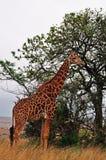 Южная Африка, запас игры Hluhluwe Imfolozi, Kwazulu Natal Стоковое Фото