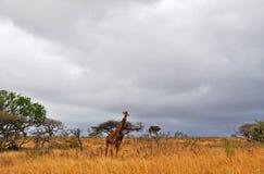 Южная Африка, запас игры Hluhluwe Imfolozi, Kwazulu Natal Стоковое Изображение RF