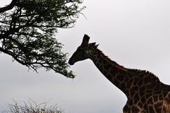 Южная Африка, запас игры Hluhluwe Imfolozi, Kwazulu Natal Стоковое фото RF