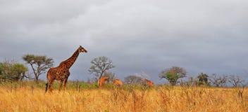 Южная Африка, запас игры Hluhluwe Imfolozi, Kwazulu Natal Стоковые Изображения