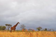 Южная Африка, запас игры Hluhluwe Imfolozi, Kwazulu Natal Стоковая Фотография RF