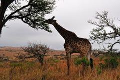 Южная Африка, запас игры Hluhluwe Imfolozi, Kwazulu Natal Стоковая Фотография