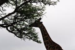 Южная Африка, запас игры Hluhluwe Imfolozi, Kwazulu Natal Стоковые Фото