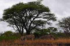 Южная Африка, запас игры Hluhluwe Imfolozi, Kwazulu Natal Стоковые Изображения RF