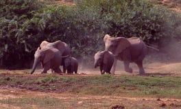 Южная Африка: Слоны бежать к водопою в парке слона Addo стоковые изображения