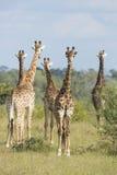 Южная группа Южная Африка жирафа (camelopardalis Giraffa) Стоковые Фото