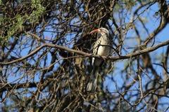Южная Желт-представленная счет птица-носорог Стоковые Фотографии RF