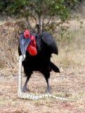Южная земная змейка убийства птицы-носорог Стоковое Изображение RF