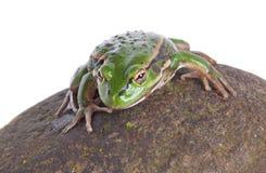 Южная лягушка колокола Стоковые Фотографии RF