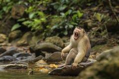 Южная Свинь-замкнутая макака - nemestrina Macaca стоковое изображение rf