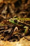 Южная лягушка колокола Стоковое Фото