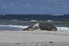 Южное уплотнение слона на острове морсого льва стоковое фото rf