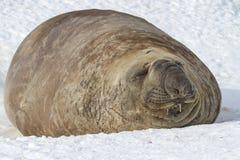 Южное уплотнение слона которое лежит в снеге с глазами закрыло Стоковое Изображение RF