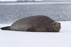 Южное уплотнение слона отдыхая на льде Стоковое фото RF