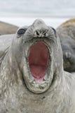 Южное уплотнение слона, leonina Mirounga, Стоковые Фото