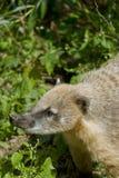 Южно - американский Coati Стоковые Фото