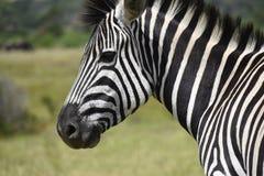 Южно-африканская зебра, запас игры Kragga Kamma Стоковая Фотография