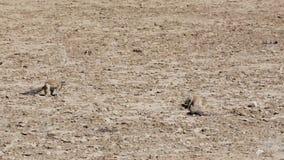 Южно-африканская земная белка куста, живая природа Намибии, Африки сток-видео